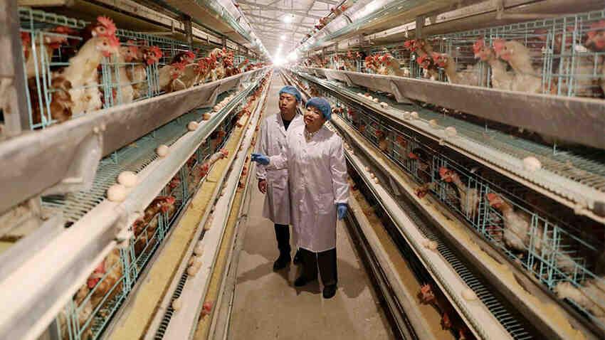 Comment commencer une entreprise d'élevage de poulet